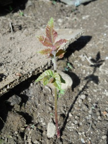 itty bitty black walnut seedling