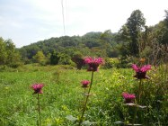 Monarda feeds the butterflies, bees, and other bug buddies