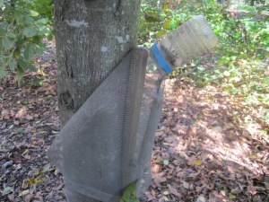 Larry's weevil trap on a hickory tree