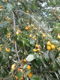 One of the many, many persimmons at Cliff's