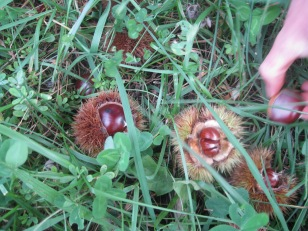 Chestnuts littered the ground for acres!