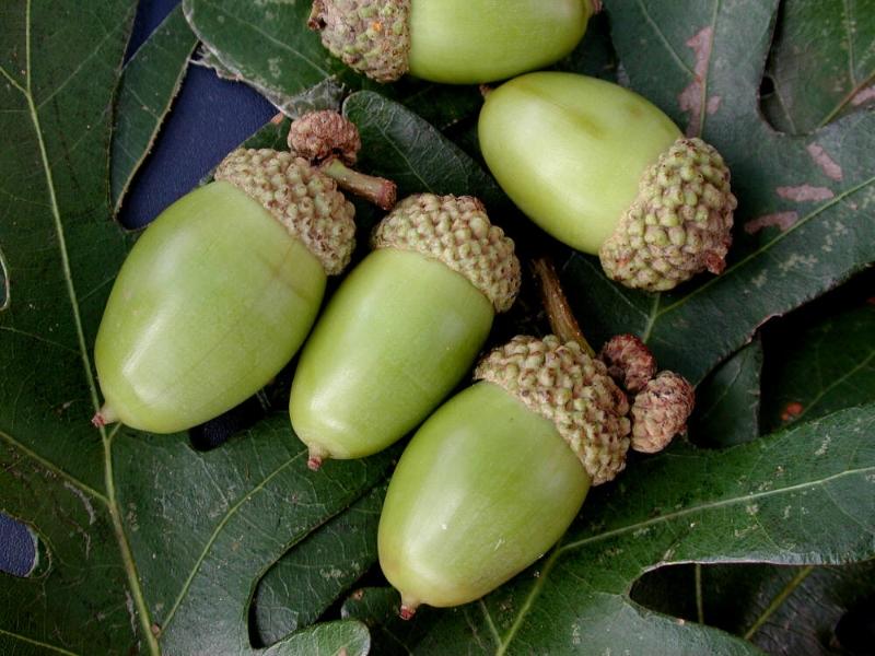 white-oak-acrons